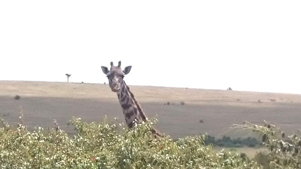 giraffe_in_the_masai_mara